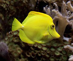 fish yellow tang