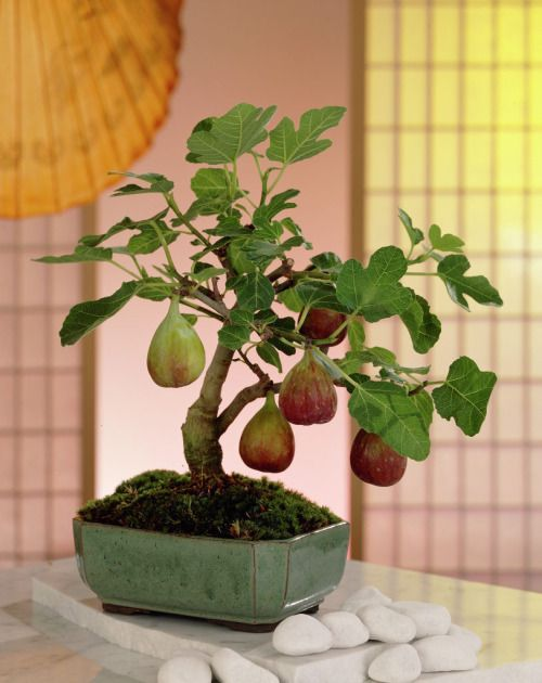 omgplants:  Ficus carica  I've never seen a common fig bonsai! That's a great idea.