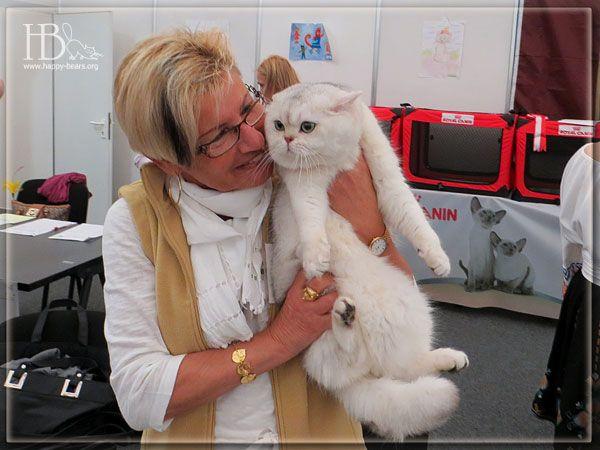 Фотогаллерея британских котят окраса золотистая и серебристая затушеванная шиншилла