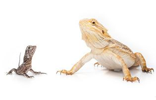 COST:                                                                A good healthy beardie will cost $180.00 and lighting will cost about $30.00 and a good nice cage about $80.00 and $12.00 for food ( each week ) and Repti-carpet $3.00