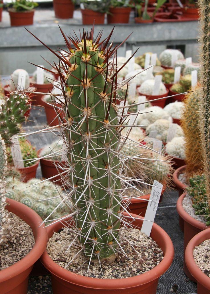 что самые популярные виды кактусов фото вышла