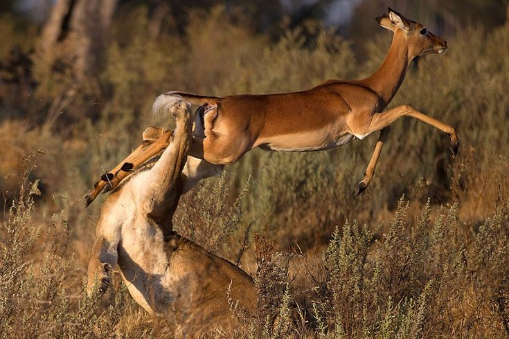 impala lucky escape from lion in botswana by jayesh mehta
