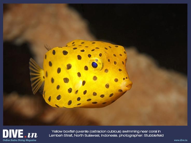 Cubicus Boxfish Care Yellow boxfish juvenil...