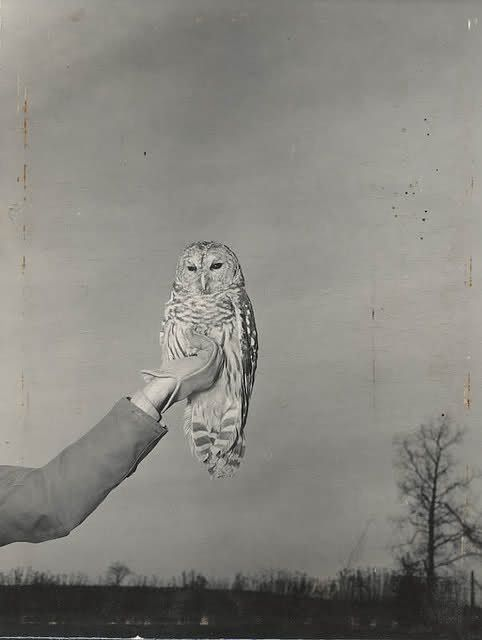 : Animals, Art, Barred Owl, Things, Birds, White Owl, Hoot, Photography, Barn Owls