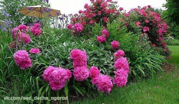 Обрезку пионов после цветения делать категорически нельзя, ведь именно в этот период закладываются цветочные почки, которые превратятся в роскошные цветы на будущий год.