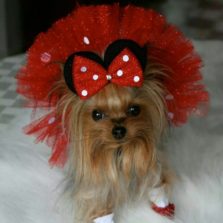 Sweet little yorkie in her Minnie Mouse outfit