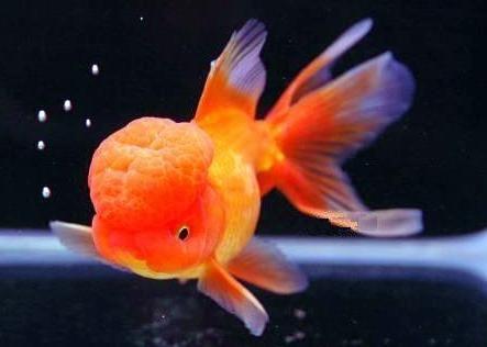 orange oranda goldfish - Google Search