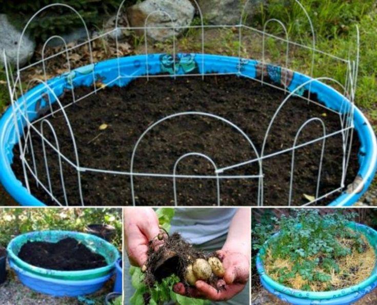 Comment faire pousser des pommes de terre rapidement et facilement, même sans jardin! - Cuisine - Trucs et Bricolages