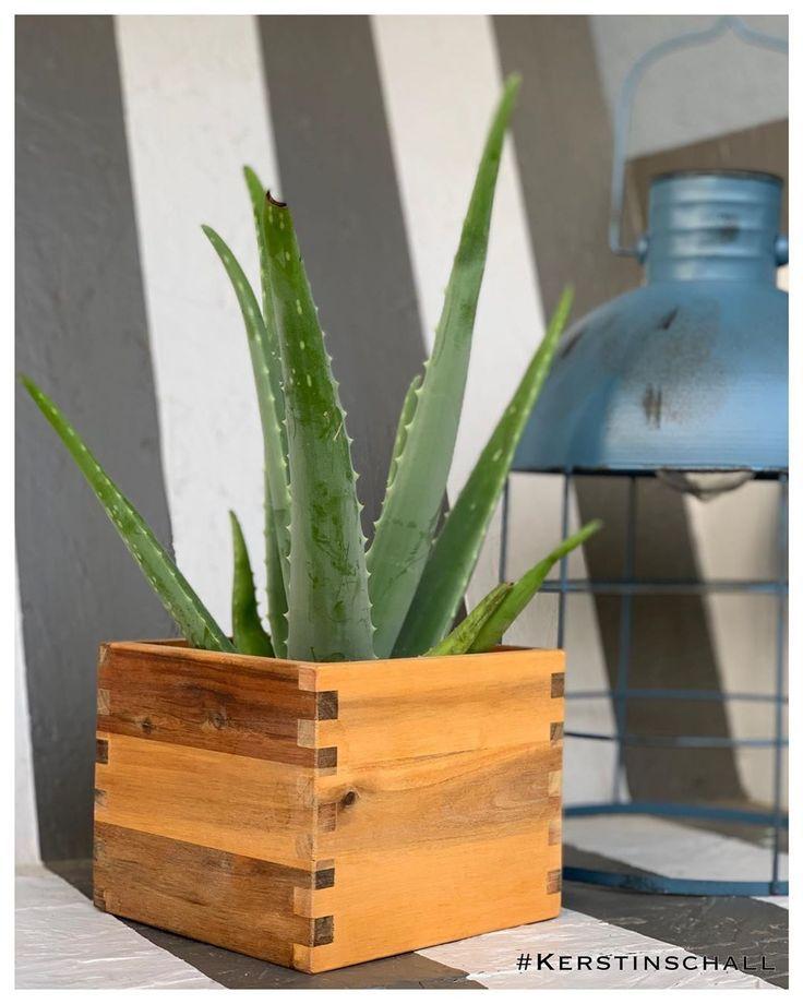 Endlich Ist Auch Bei Mir Eine Aloe Vera Pflanze Eingezogen Aloevera Plants Pflanzen Grun Aloevera Aloever Aloe Vera Pflanze Pflanzen Aloe Vera
