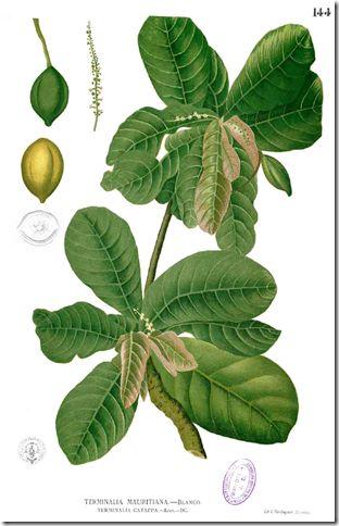 Tropical almond (Terminalia catappa) The Tropical Almond tree, also known as Indian Almond