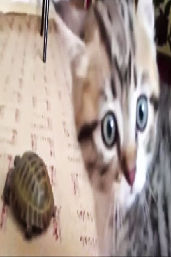 This Kitten Sees A Turtle For The First Time Her Reaction Had Me On The Floor Video Kittens Puppy Friends Animals