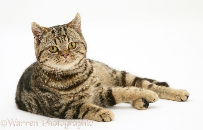 British Shorthair Brown Tabby Cat Tiger Lily Reclining White Background Tabby Cat Orange Tabby Cats Tabby Cat Pictures