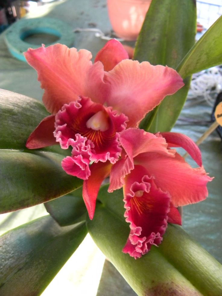 Cattleya. Orchid collection by J. Camilleri