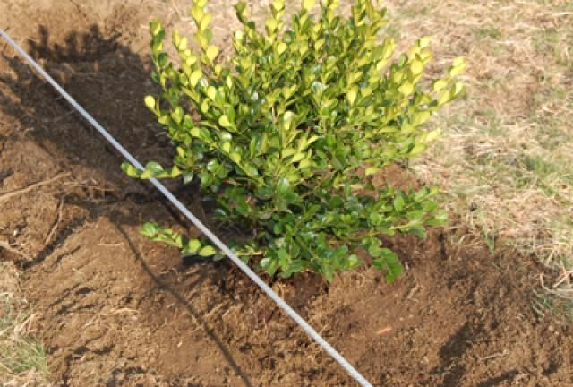 This step-by-step tutorial walks you through the steps in planting hedges. Through pictures I show you how to plant boxwood shrubs in a straight row.: Drainage for Shrubs and Controlling Soil Settling
