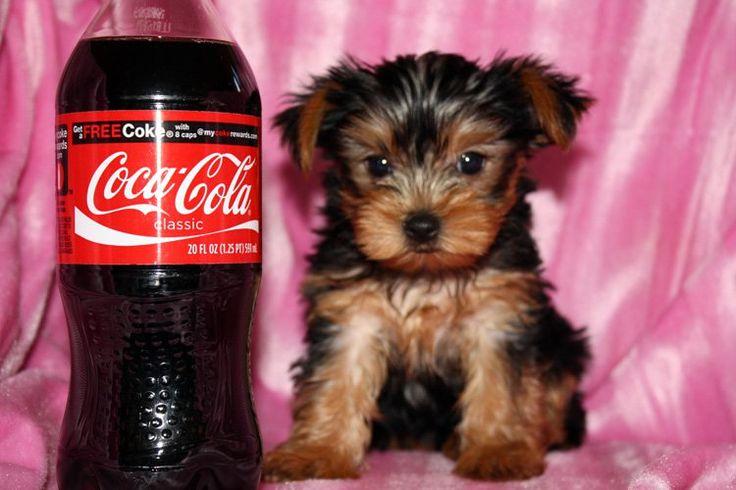 Teacup Yorkie Puppies South Carolina | Super cute teacup yorkies FOR SALE ADOPTION from South Carolina ...
