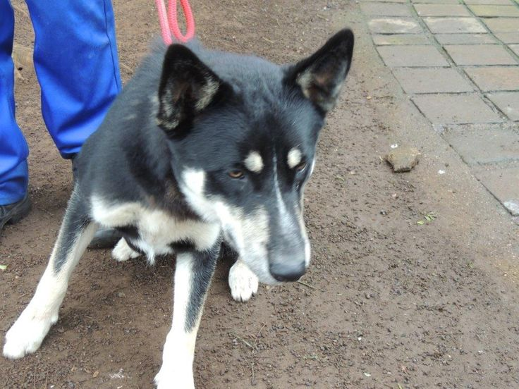 Kennel 69:  Husky cross, black, very light brown and white, male.