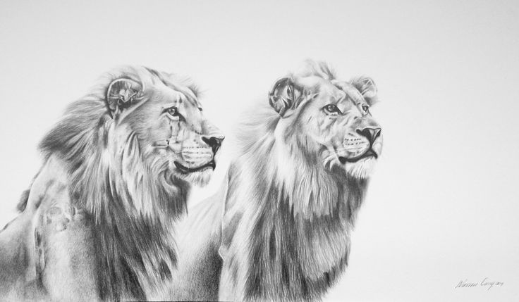 Lions done in pencil