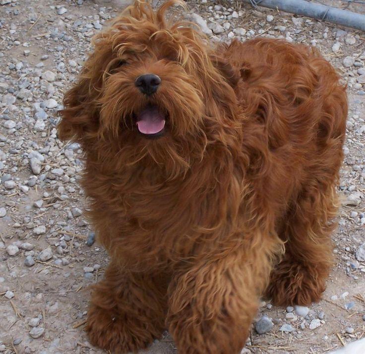 Cockapoo Dog Breed Plus