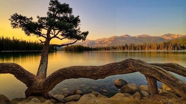Сосна на берегу озера, Джаспер, Альберта, Канада