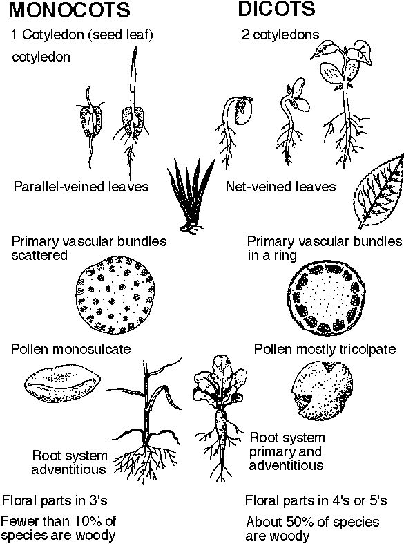 Monocot vs  Dicot (Week 8) | Earth Science & Biology | Teaching