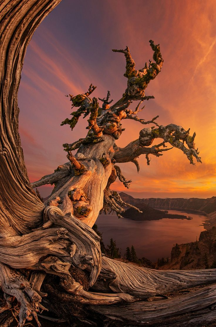 ~~Crater Lake Ambassador   iconic ancient tree at sunset, Crater Lake, Oregon   by Bsam~~