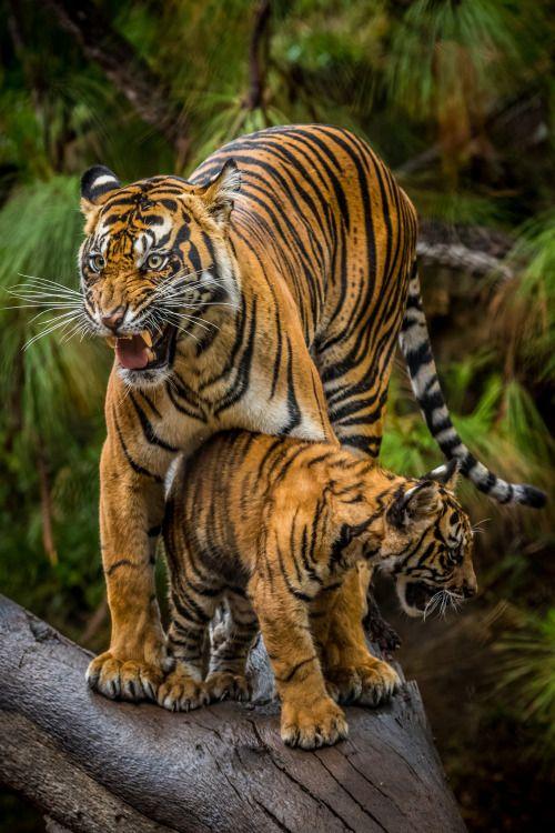 A Sumatran Tigress ~ Protects Her Cub.