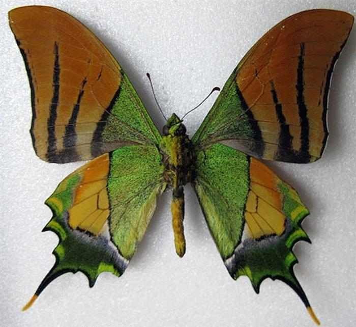 Mariposas  Originaria de China y Vietnam, la Teinopalpus aureus es considerada una especie en peligro de extinción y, a pesar de ser protegida por la legislatura China, se encuentra bajo constante amenaza debido al tráfico ilegal de animales.