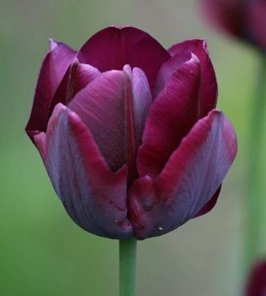 SUCCESS - 2015C - Late Spring 'Ronaldo' Tulip  purchased at Garden Fever in NE Portland front corner at first set of stairs