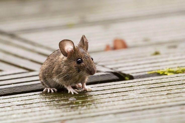 Waldmaus... Baby Animals April Niedliche tiere, Mäuse