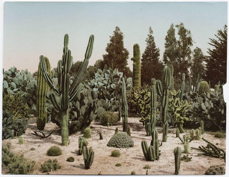 radophobia:  Cactus garden in California in 1902