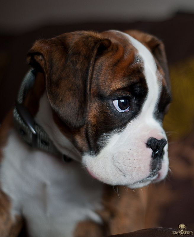 Boxer puppy 'Stan' at 13 weeks, by Tim-Medcalf on Flickr