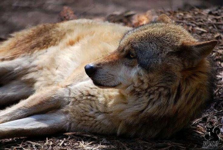 Resting wolf