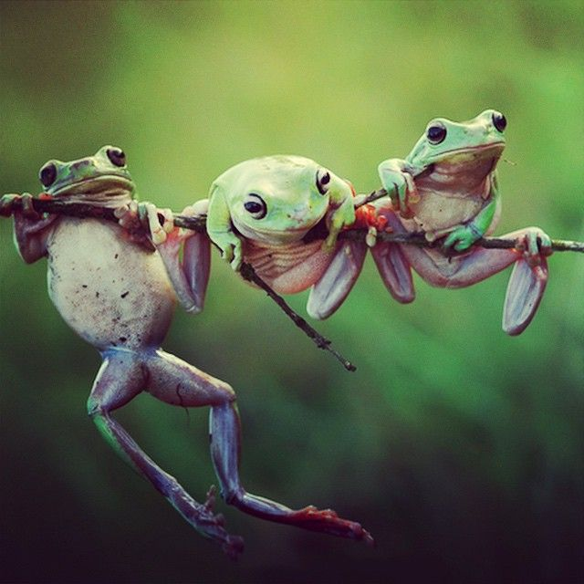 Three #Frogs On A Branch #travel #traveleze #traveling #photography