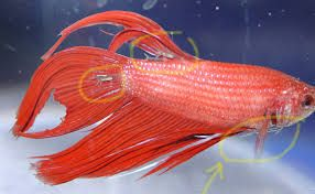 betta fish pictures color - Google Search