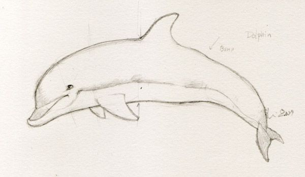 Dolphin drawings in four easy steps