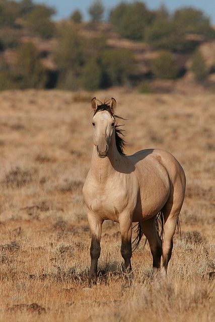 Beautiful Buckskin. A true buckskin coat color. Buckskins should not be confused with dun-colored horses, which have the dun dilution gene, not the cream gene. Duns always have primitive markings (shoulder blade stripes, dorsal stripe, zebra stripes on legs, webbing).