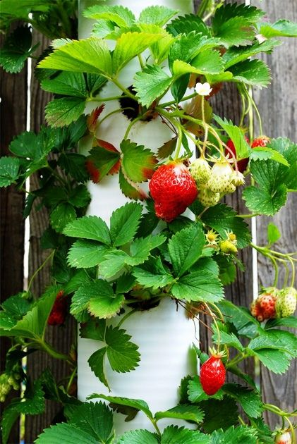 """Ashbee Design...PVC Inspiration...the classic strawberry tower fro PVC large diameter """"drainpipe.""""  Open ended bottom and capped top w/a hole for watering..."""