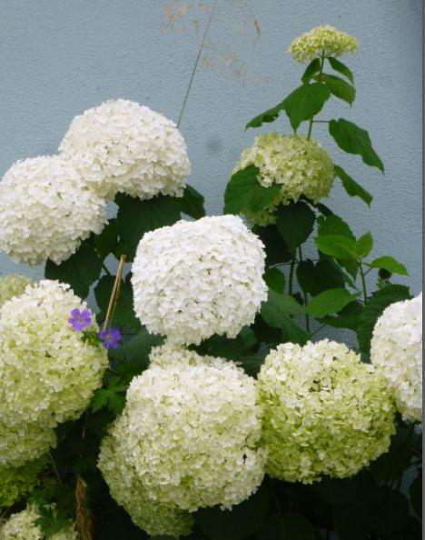 Hydrangea Annabelle at morgan's Garden Centre