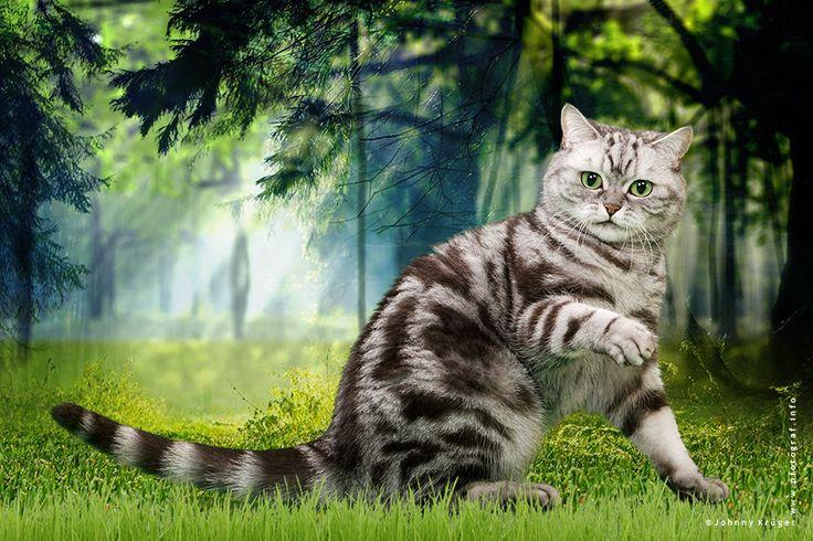 Britisch Kurzhaar Katze in der Farbe schwarz/silber gestromt - British shorthair cat black/silver tabby - www.pfotograf.info