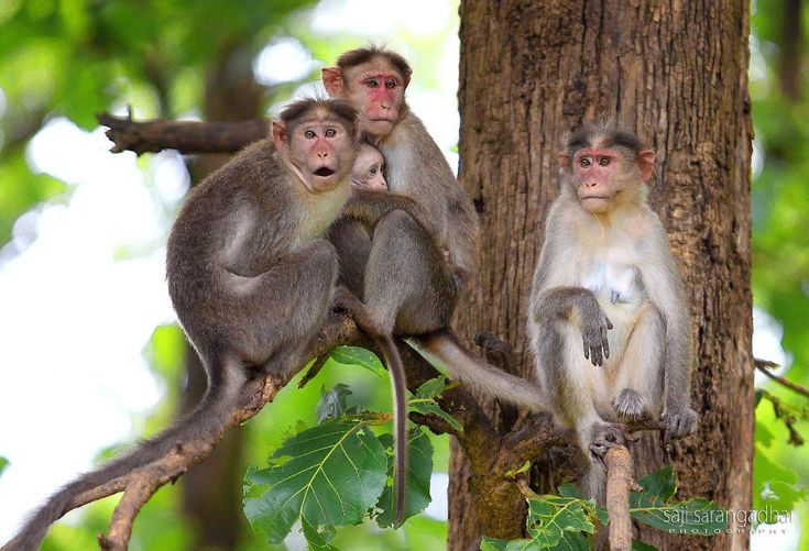 A bonnet macaque family by saji.sarangadhar