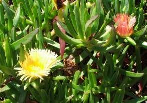 Plantas e Flores do Areal - Endemismos de Portugal: Carpobrotus edulis