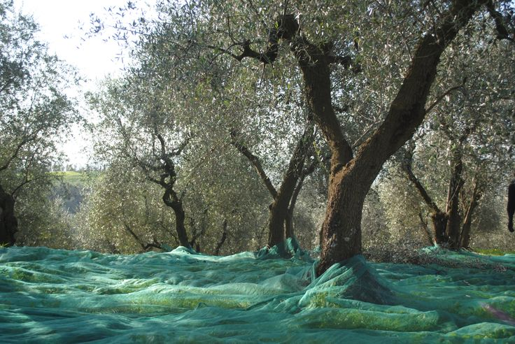 Olive nets laid out for harvesting, Tuscany, Italy