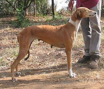 Right Profile - Caravan Hound is standing in dirt in the woods with a person behind it