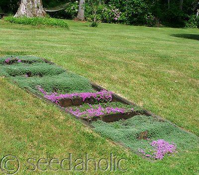 Thymus serpyllum 'Creeping Thyme' groundcover 7,000 Seeds Bulk