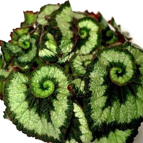 Inexperienced Coleus Flower Seeds