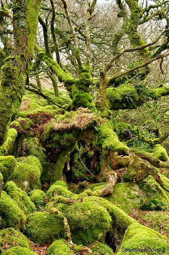 Wistman's Wood, Devon. Now I must go here after hearing about Maggie Stiefvater's adventure with this place.....and how it helped inspire her with writing The Raven Cycle.