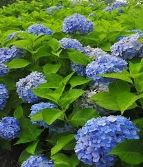 Care for Endless Summer Hydrangea