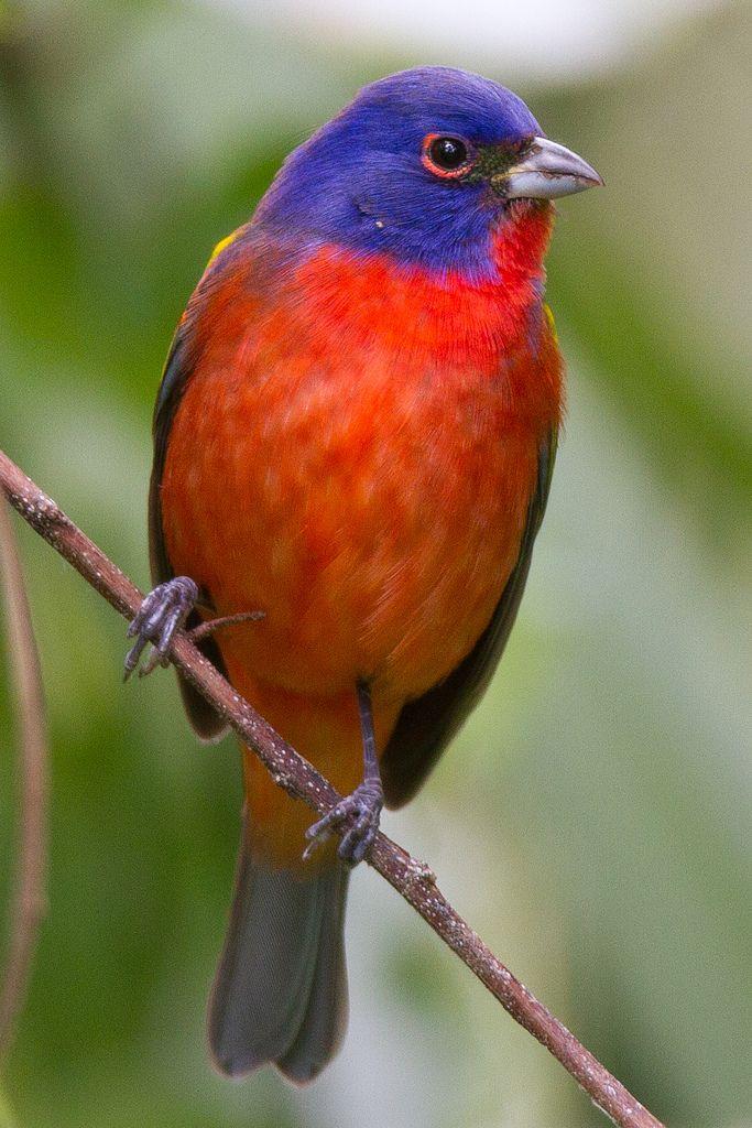 Mejores 42 imágenes de carpintero imperial en Pinterest   Pájaros ...