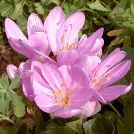 Colchique d'automne 'Lilac Wonder'