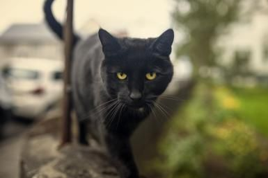 The Bombay Cat: A Profile of the Parlor Panther